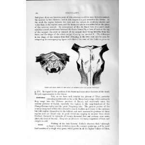 NATURAL HISTORY 1894 SKULL DOMESTIC YAK WILD ANIMAL
