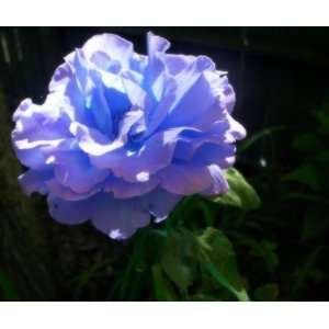 Blue Justice Rose Seeds Bush Flower Seeds Patio, Lawn