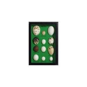Egg Replicas of North American Raptors Riker Mount Toys & Games