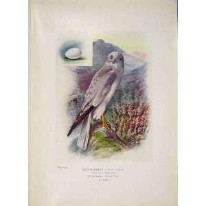 Hen Harrier Falcon Colour Antique Old Print Bird Egg
