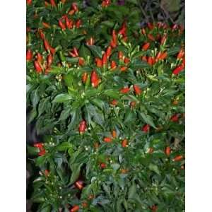 Hot Red Capsicum Fruitescens Vegetable Seeds *Comb S/H: Patio, Lawn