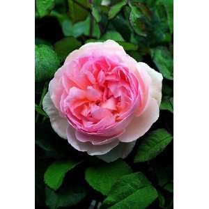 Sharifa Asma (Rosa English Rose)   Bare Root Rose Patio