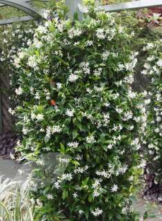 Buy star jasmine Trachelospermum jasminoides: Delivery by Crocus.co.uk