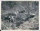 1939 wounded wild feral hog boar surrounded by hunting dogs